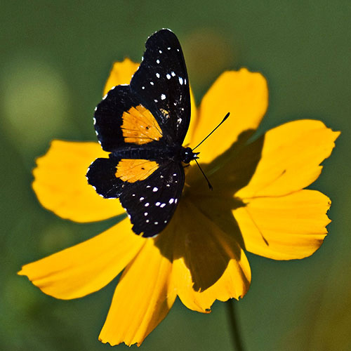 Closeup, butterfly on yellow flower, Costa Rica