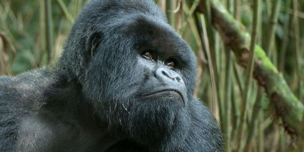 Closeup of Silverback Gorilla, photographed in Rwanda